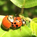 Multi-colored asian lady beetle