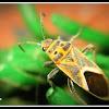 Milk weed bug