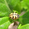 Wavy striped Ladybird