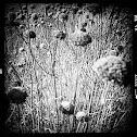 Wild bergamot