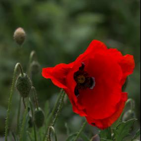 Poppy by Stuart Wilson - Flowers Flowers in the Wild