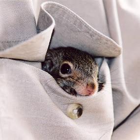 Pewee by Brenda Hooper - Animals Other Mammals ( climb, pocket, baby animal, squirrel, oak tree,  )