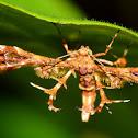 Geranium Plume Moth Sphenarches anisodactylus