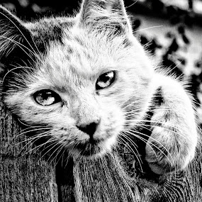 Just Love Me ♡ by Helen Jamison - Animals - Cats Portraits ( cats, cat, black and white, dramatic black and white, photography,  )