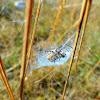 araignée dans son nid