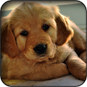 Labrador Retriever Wallpapers icon