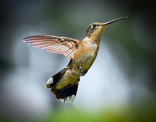 Reach by Roy Walter - Animals Birds ( animals, nature, hummingbird, wildlife, birds )