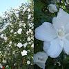 Hibiscus mutabilis. Hibisco blanco