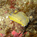 Nudibranch Hypselodoris Elegans