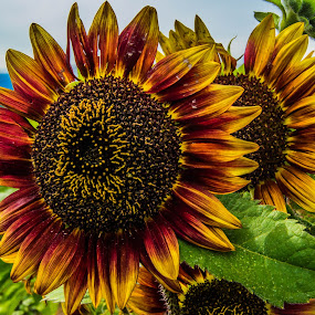 SunFlower by James Case - Flowers Flower Gardens ( beautiful flower, nature, sunflower, nature photography, flower photography,  )