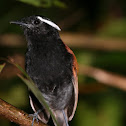 Black-bellied Gnateater