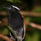 Black-bellied Gnateater