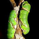 Caterpillar of Common Mormon