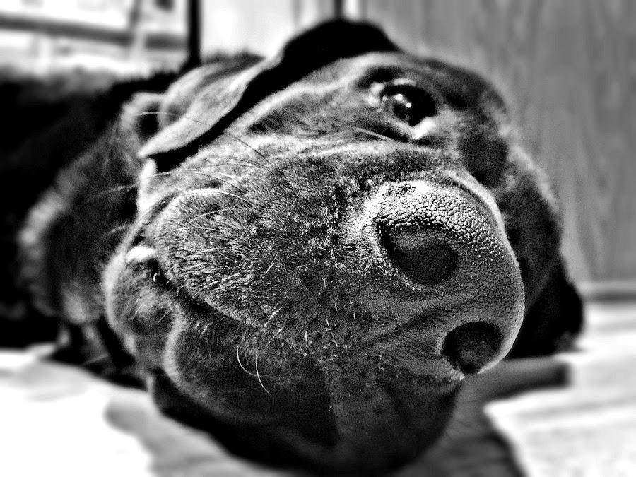 Nose by DE Grabenstein - Animals - Dogs Portraits ( black dog, newfoundland, black and white, dog nose, newfie,  )