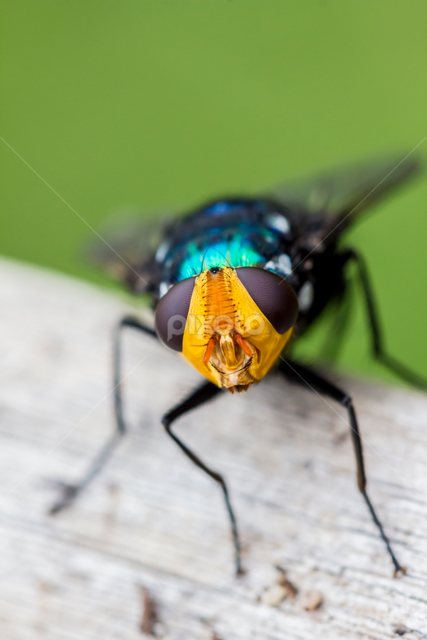 Buzz by Mel Stratton - Animals Insects & Spiders ( macro, fly, insect,  )