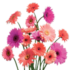 Daisies Live Wallpaper icon