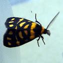 Tiger Lichen Moth
