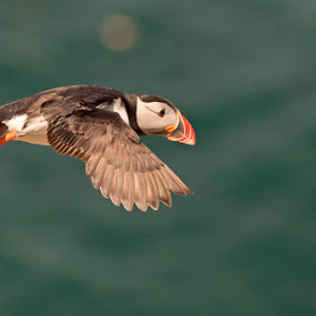 Puffin by Peter Krocka - Animals Birds ( , bird, fly, flight )