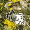 Medioluto ibérica- Iberian marbled white
