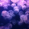 Moon Jellies