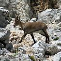 Alpine ibex/Alpski kozorog