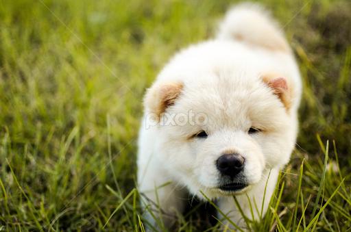 White Chow Chow Puppy Puppies Animals Dogs Pixoto