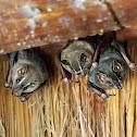 Great fruit eating bat