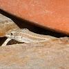Iberian Wall Lizard