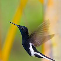 Hummingbirds of Brazil