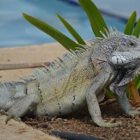 Iguana by Bonnie Lea - Novices Only Wildlife