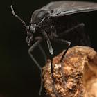 Dark-winged Fungus Gnat (Sciaridae)