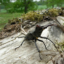 Stag beetle (local: Ekoxe)