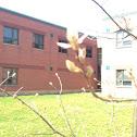 Hill's Oak Tree