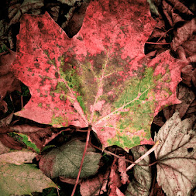 Autumn by John Ash - Nature Up Close Leaves & Grasses ( red, autumn, leaf )