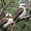 Laughing Kookaburras (mated pair)