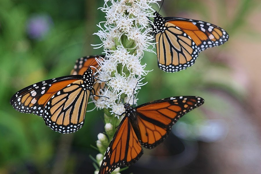 Monarchs at Lunch by Sherri Woodbridge - Animals Insects & Spiders ( monarchs, butterflies, insects,  )