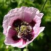 Violet poppy
