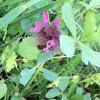 Lamium purpureum / Piros árvacsalán