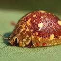 Eucalyptus Tortoise Beetle