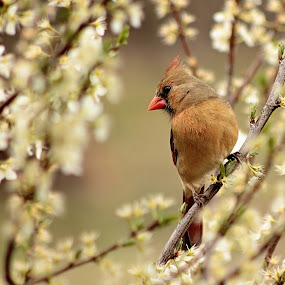 Female Cardinal by Miranda Powers - Animals Birds (  )