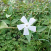 Vinca minor alba (White Periwinkle)