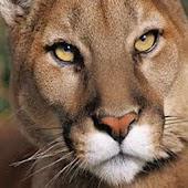 Cougar Sounds