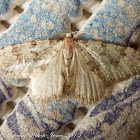 Spanish Cloud Moth