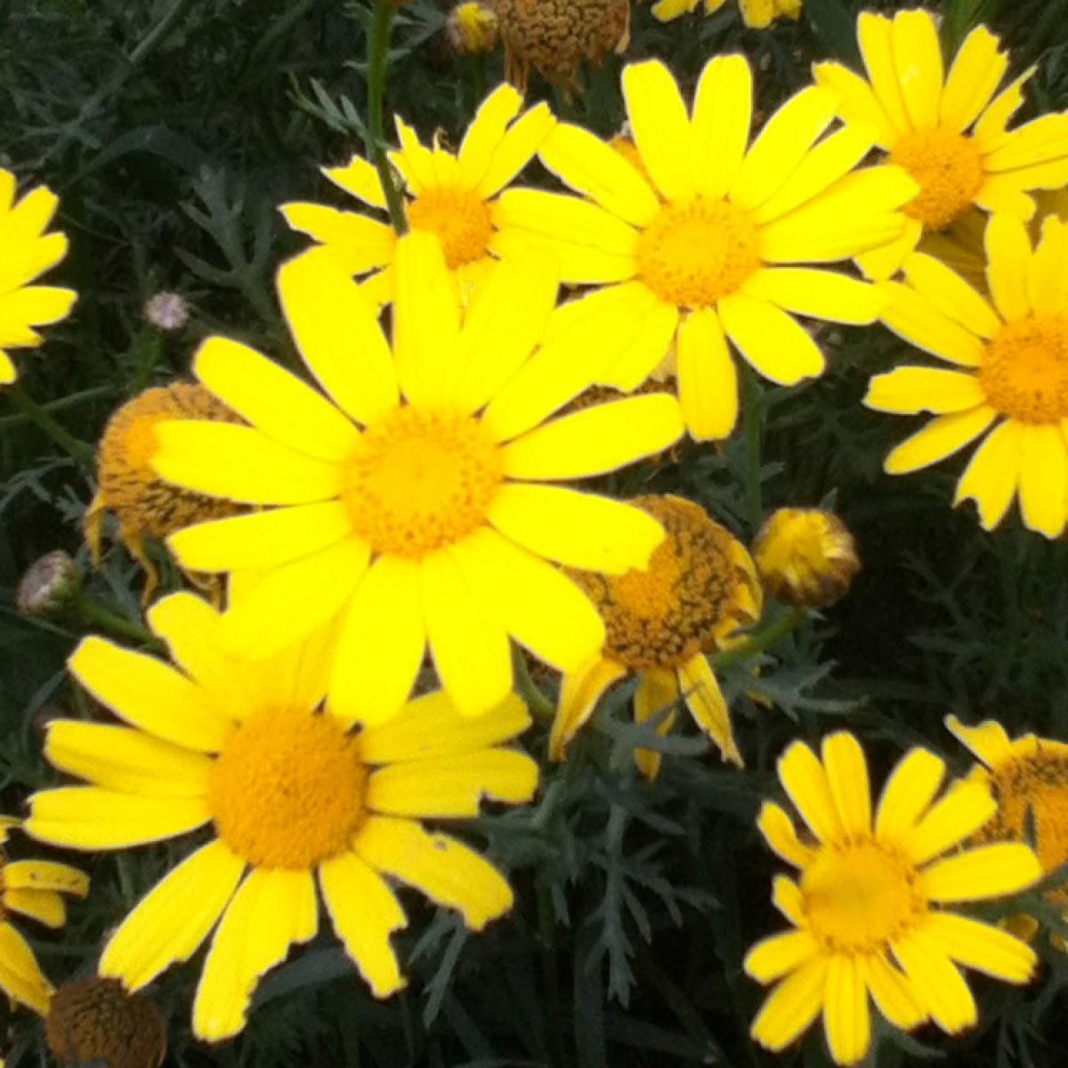 Yellow Daisy Bush