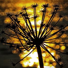 Golden Seed Head by Mandy Jervis - Nature Up Close Leaves & Grasses ( abstract, water, sunset, seed, sparkle, head, bokeh, golden )