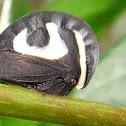 Helmet Treehopper
