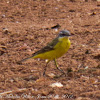 Blue-headed Yellow Wagtail