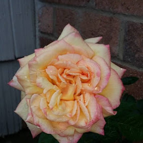 by Amanda Skipworth - Flowers Single Flower (  )