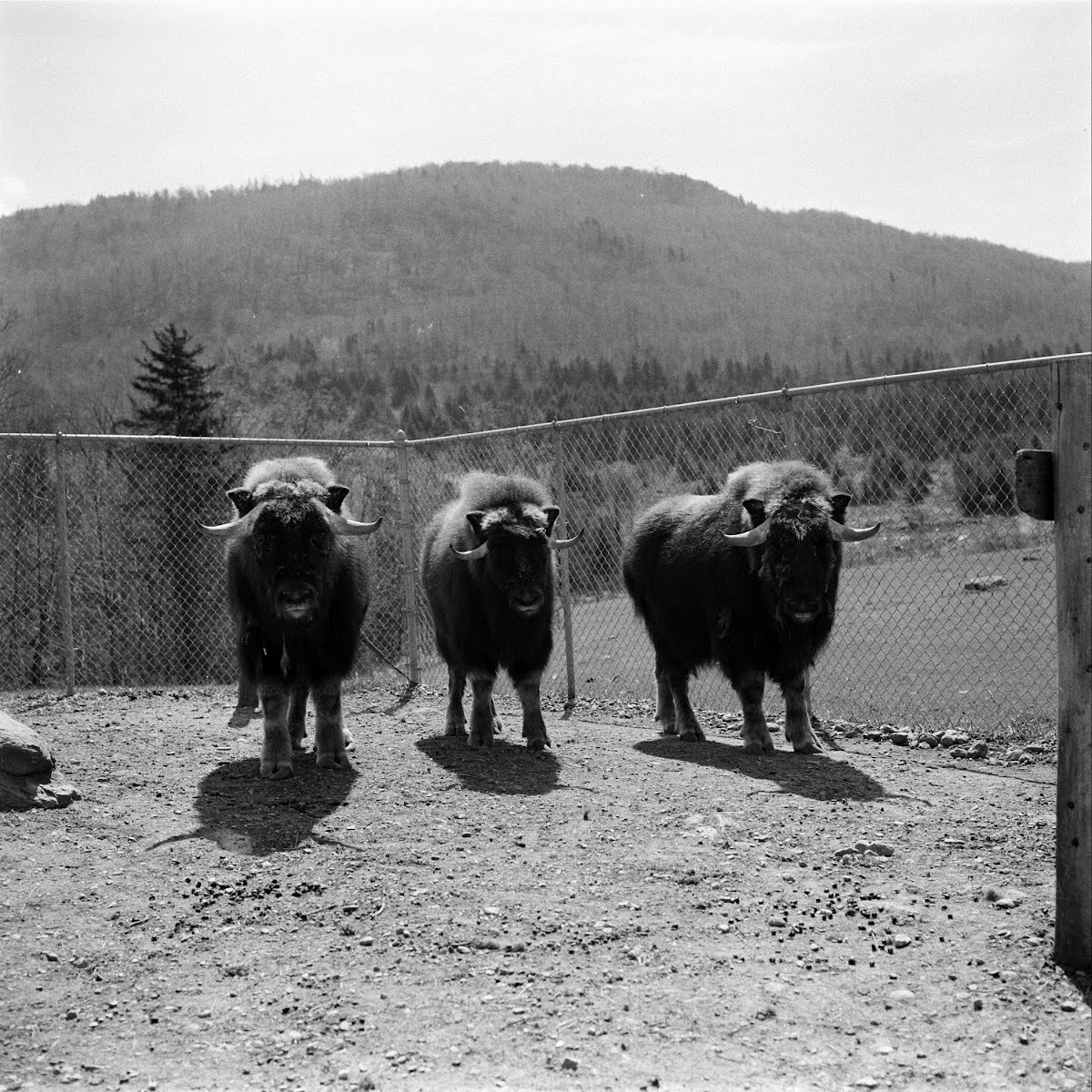 Musk Ox Revisited