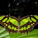 Borboleta-malaquita